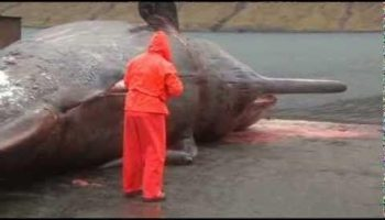 Dead Blue Whale Causing a Crisis in Canadian Town