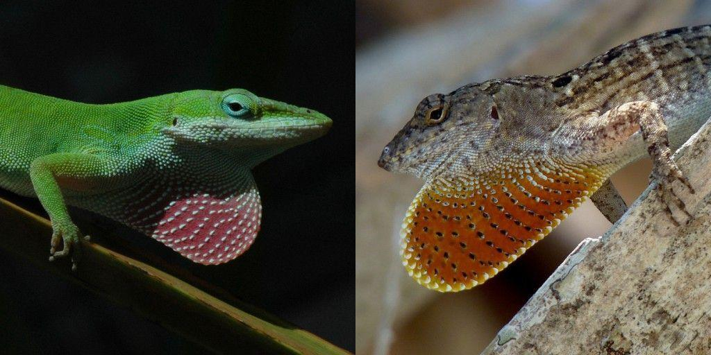 Green and brown anoles. Image from University of Texas.